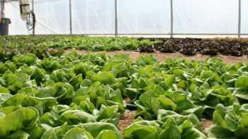 Lettuce trial at the University of Arizona