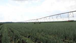Ranman Fungicide Registered For Downy Mildew Control In Bulb Vegetables