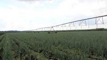 Torrey Farms onion crop
