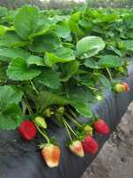 Florida Sensation strawberry