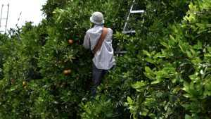 Latest Florida Citrus Forecast: The Bleeding Has Stopped, For Now