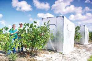 Dr. Yong-Ping Duan and colleague Melissa Doud inspect tented citrus trees undergoing heat treatment. Photo courtesy of USDA