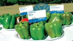 Sakata Introduces Three New Bell Pepper Varieties