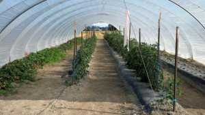 Webcast: Control High Tunnel Tomato Diseases
