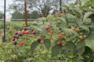The Niwot raspberry is a vigorous, winter-hardy plant, with large, tasty fruit, and excellent production with dual seasonal cropping. (Photo credit: Peter Tallman)