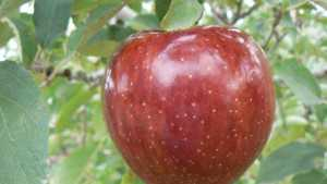 Fred Valentine Shares Lessons Learned In The Quest To Grow High Quality Apples