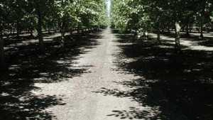 Rethinking Walnut Irrigation