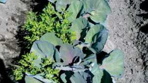 Vow To Vanquish Weeds Among Vegetables