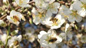 Almond Growers To Promote Bee Health