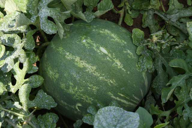 High Heat Impacts Georgia Watermelons