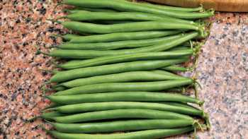 A main-season bean with very dark pods, Bison is highly resistant to bean common mosaic virus. Its bush is sturdy and compact, and pods run 20% 3 sieve, 80% 4 sieve. Available from Siegers Seed Co.
