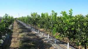California's Citrus Growers Face More Challenges Than Huanglongbing