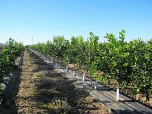 Duarte Nursery in California has produced roughly 900,000 citrus trees on tissue culture rootstocks with few problems reported by growers. Photo courtesy of AgroMillora Research, SL