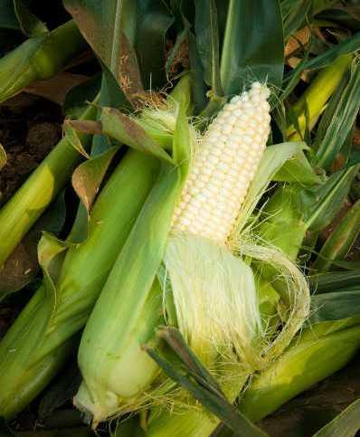 Sweet Corn Crop Outlook 2014