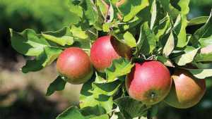 USDA Approves Record-Breaking Purchase of Of Apples
