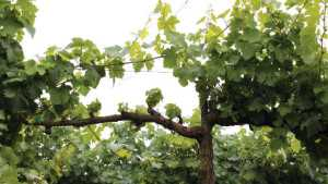 Protect Vine Pruning Wounds From Fungal Infections