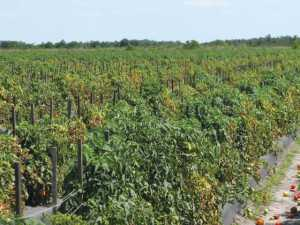 Fusarium wilt symptoms are apparent in this Florida tomato field. Photo courtesy of Gary Vallad