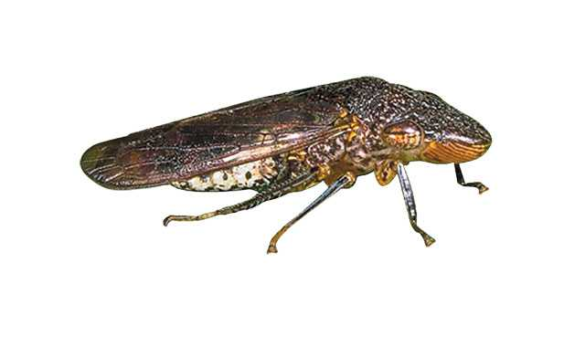 California Department Of Food And Agriculture Declares Glassy-Winged Sharpshooter Eradicated