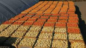 Mini Pumpkin Entrepreneurs Expand Globally