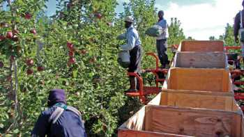 Pickers with bags are responsible for picking zones, designed to span the whole tree, so the fruit comes to the pickers. (Brian Sparks photo)