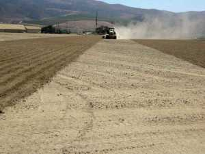 Erosion is problematic on both muck and granitic soils. Cover crops help reduce erosion and use up available nitrogen at the end of the season. Photo credit: Richard Smith, University of California.