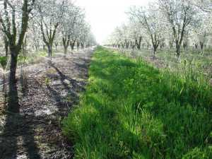 Irrigation In Prune Orchard