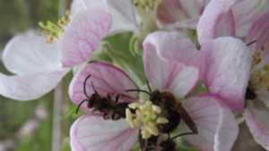 Organic Fruit Production Pollinator Conservation Tactics