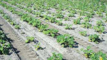 Above-ground symptoms of nematodes include plant stunting and patchy stands. Photo by Gerald Holmes