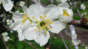 Managing Heat Stress At Bloom In Prunes