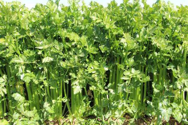 E. Coli Outbreak Linked To Celery