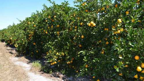 Squeeze Play Continues to Plague Florida Citrus Crop