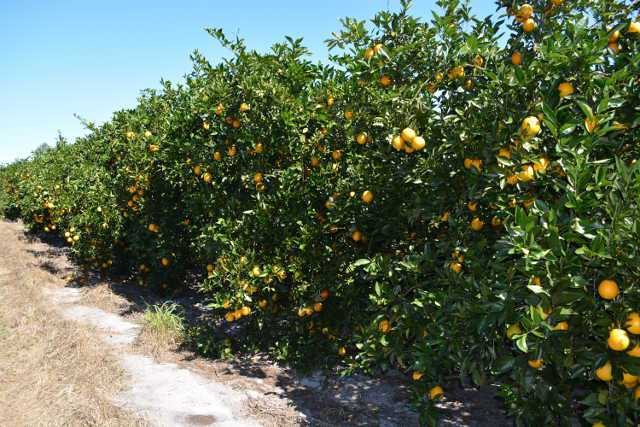 Squeeze Play Continues to Plague Florida Citrus Crop