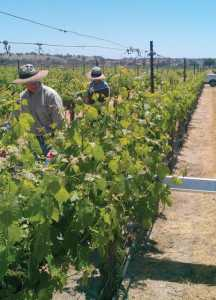 UCCE Viticulture Farm Advisor Mark Battany uses a solar panel to measure vineyard shaded area. The shaded area data he is collecting is needed to estimate vineyard water use using an equation developed by Larry Williams, a professor at UC Davis.  (Photo credit: Matthew Fidelibus)