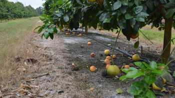 HLB Fruit Drop In Florida Citrus