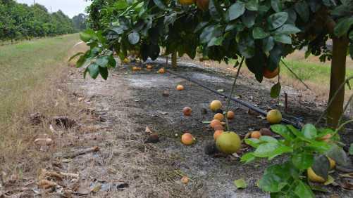 Florida Citrus Estimate Escapes Hit From Hurricane Matthew