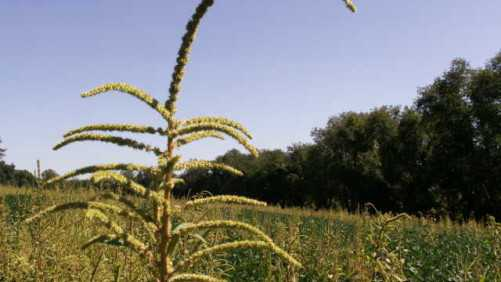 EPA Says Glyphosate Not Likely To Cause Cancer
