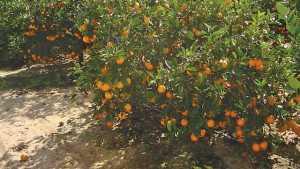 Florida Citrus Crop Forecast Update: So Far, So Good