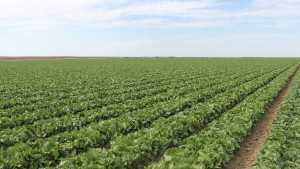 New Fungicide For Lettuce Growers