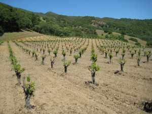 Dark Horse Vineyard  in Ukiah, CA,  shows the typical wide spacing of head-trained and dry-farmed vineyards. This photo was taken in May 2011. (Photo credit: Community Alliance for Family Farmers)