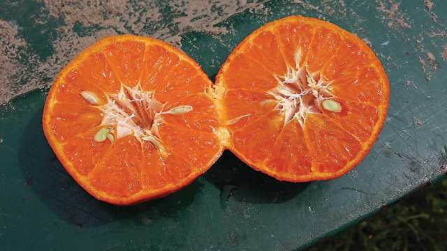 One of the eight mandarins in the trial group. Photo courtesy of USDA-ARS
