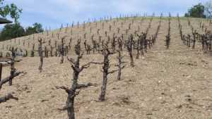Grape Growers Say Season Affected by Weather, Water, and Regulation Woes