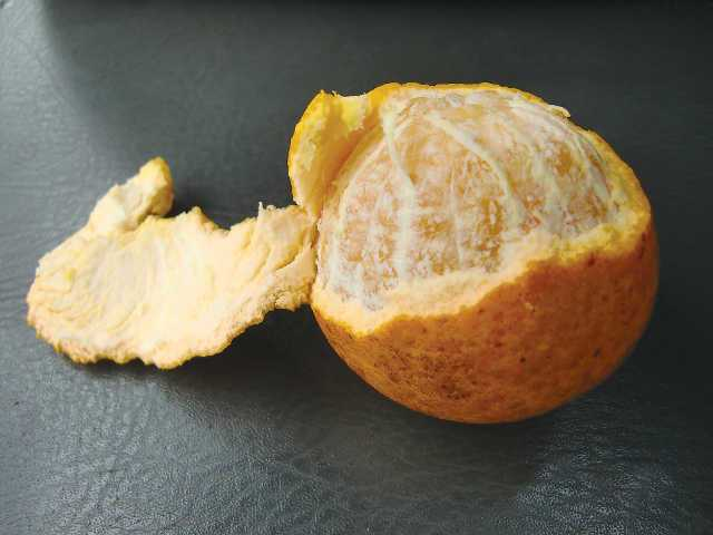 Identity yet a secret, here is one of the orange-like selections in the trial group. Photo courtesy of USDA-ARS