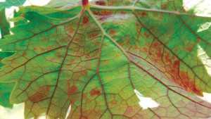 Red Leaf Viruses Update