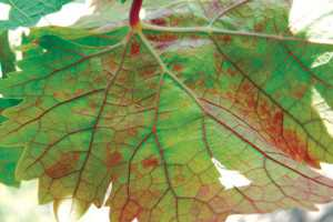 An up-close look at red blotch on a leaf. (Photo credit: Mysore R. Sudarshana, USDA-ARS)
