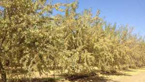 Impacts Of Drought On Almond Production