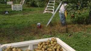 2014 Northwest Pear Crop Down Slightly