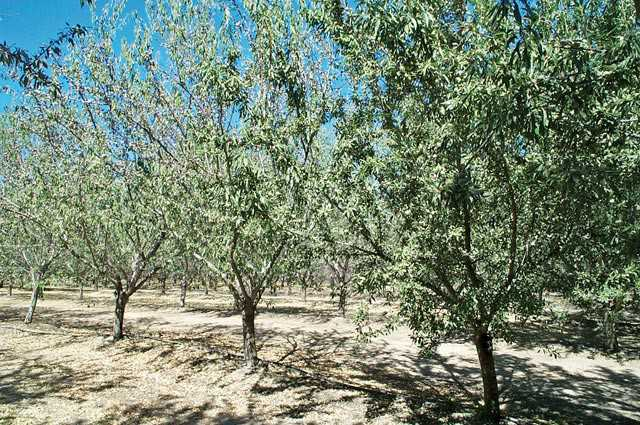 Water stress causes leaf drop in almonds, reduces % shaded area, and reduces water requirements. (Photo credit: Ken Shackel)