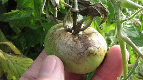 Late blight shown in a tomato