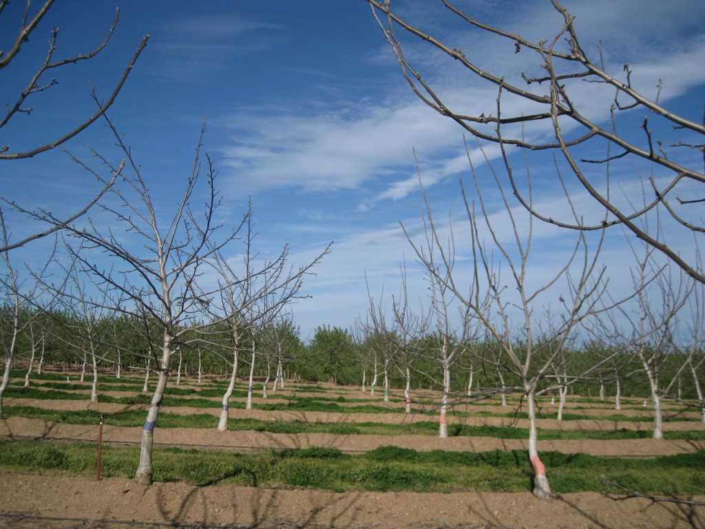 An unpruned tree on left (note short shoot growth on primary branches) and a minimum pruned tree on right (note secondary scaffold extension growth  from heading cuts) at the end of the third growing season.  (Photo Credit: Bruce Lampinen)