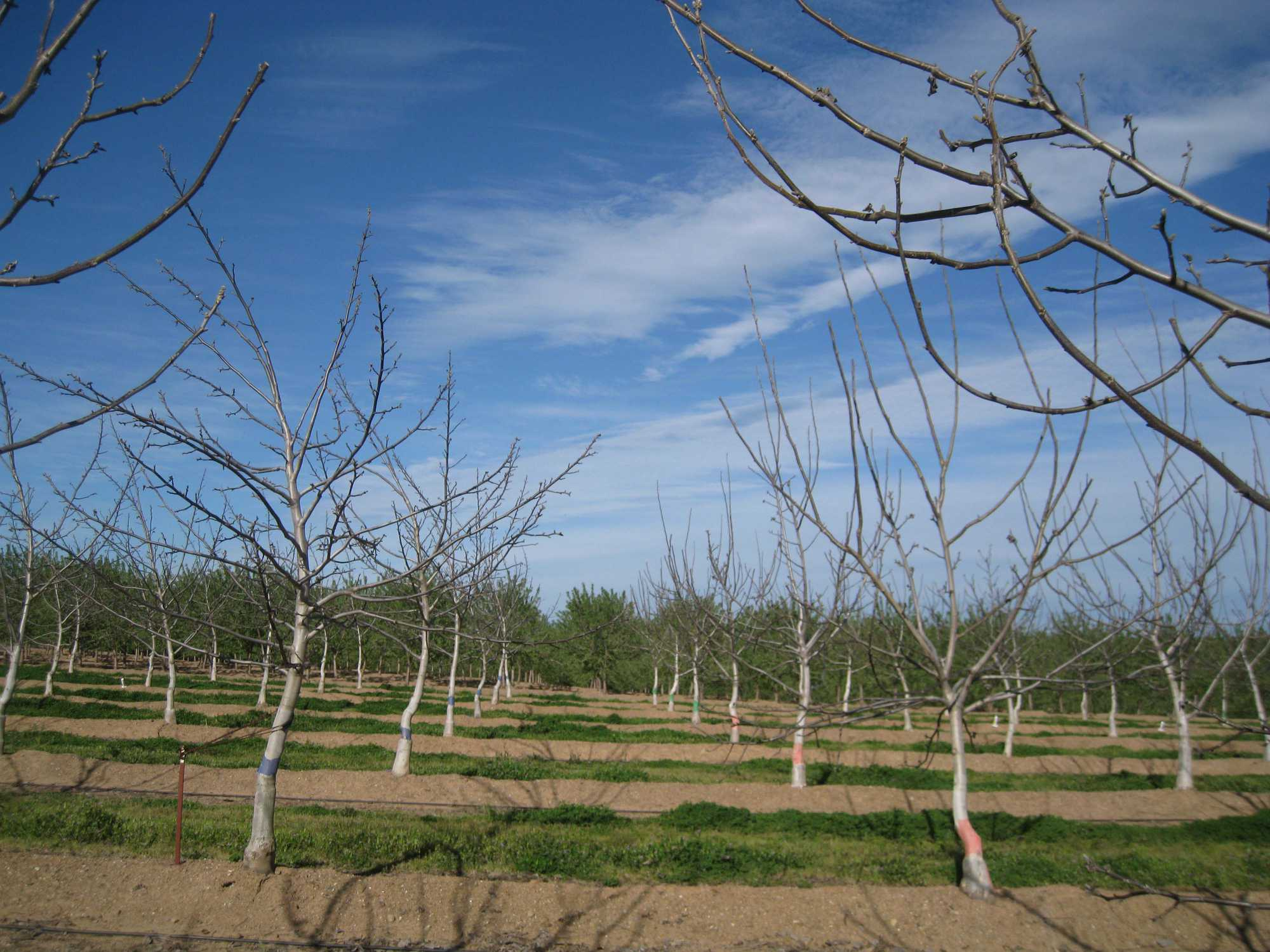 How To Train Young Walnut Trees Growing Produce